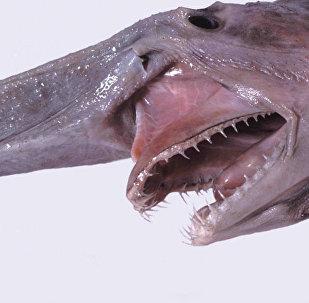 Un tiburón duende