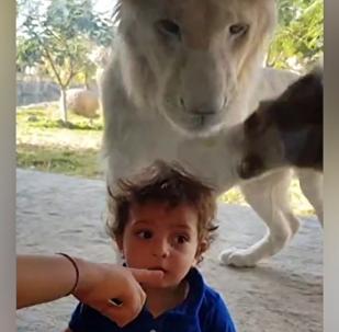 ¡No te gires! El chasco de un león al quererse comer a un niño
