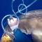 Ni Indiana Jones: un buzo lucha con un machete contra dos tiburones por un atún