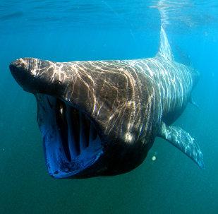 Un tiburón peregrino