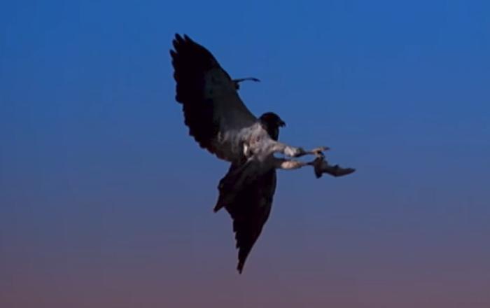 Velocidad vs agilidad: halcones se enfrentan a los murciélagos más ágiles del mundo