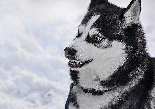 Un perro Husky furioso, imagen referencial