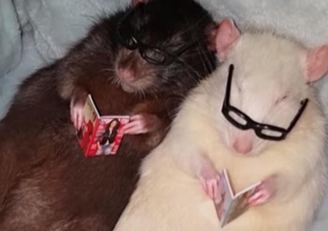 Estas ratas son más inteligentes que muchos humanos