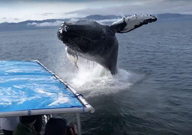 Ballena jorobada salta del agua en Alaska