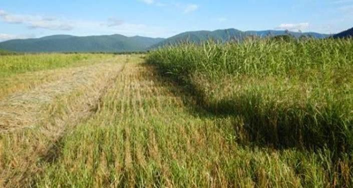 La primera cosecha de prueba de trigo