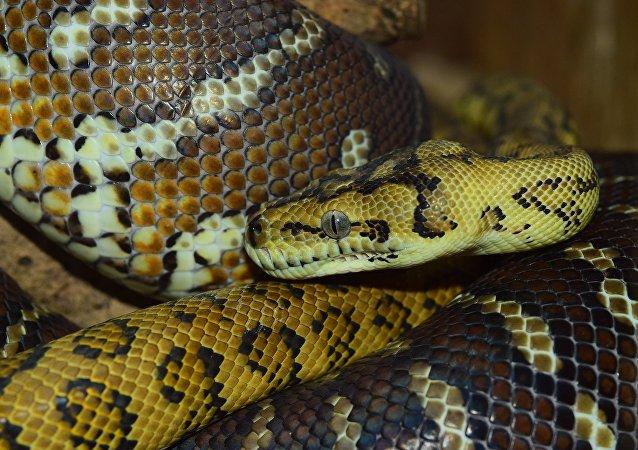 Una serpiente (archivo)