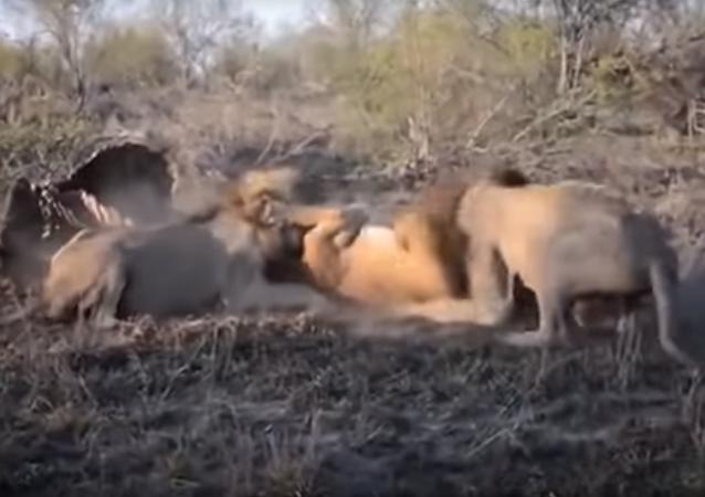 Dos leones se enzarzan en una pelea con una leona indefensa