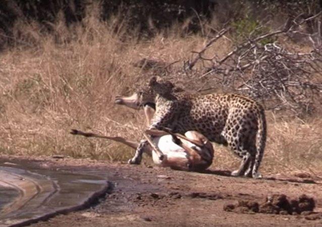 Una hiena ataca a un leopardo