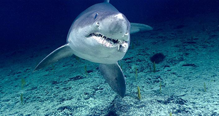 Un tiburón tigre, referencial