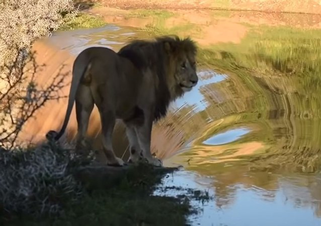 El rey de las bestias también vive momentos vergonzosos: un león cae desde una cascada