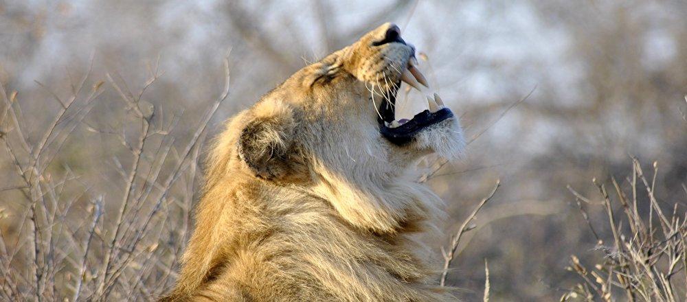 Un león, imagen referencial