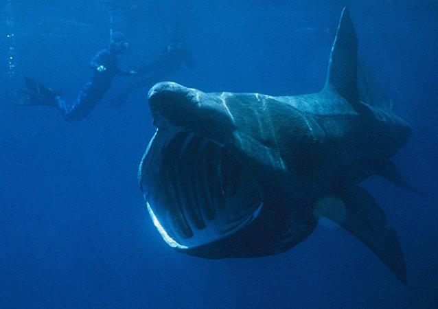 Tiburón gigante