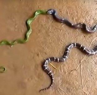 Escalofriantes imágenes: una serpiente vomita a otra del mismo tamaño