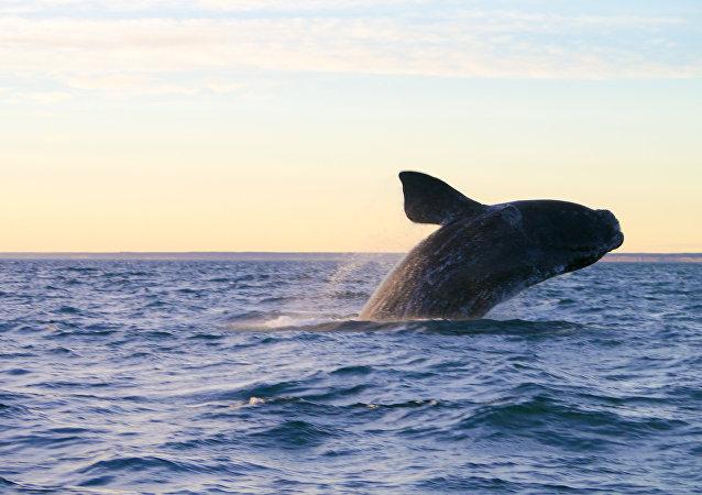 Una ballena en Península Valdés, Argentina