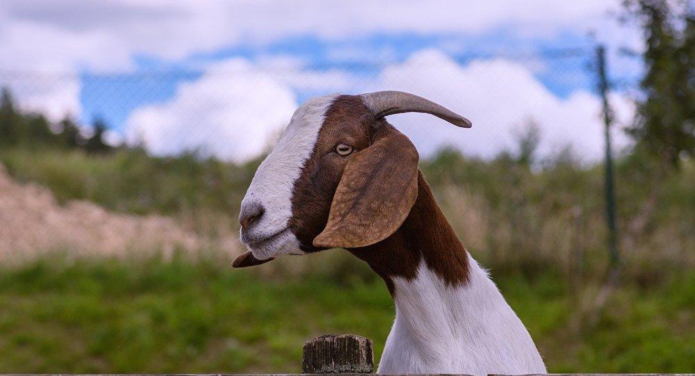 Una cabra