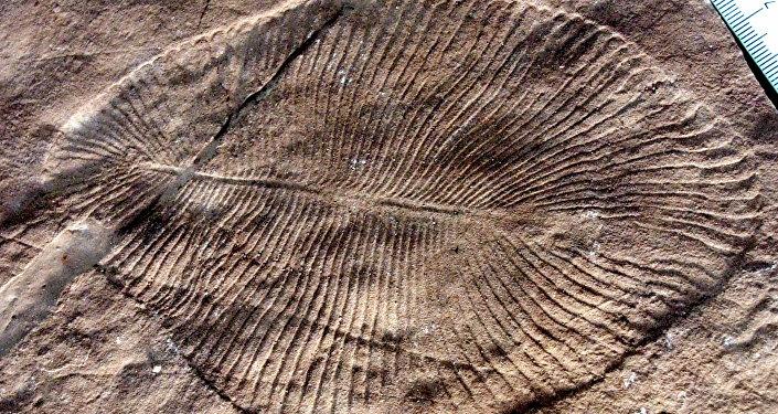 Un fósil de Dickinsonia costata hallado en Australia (archivo)