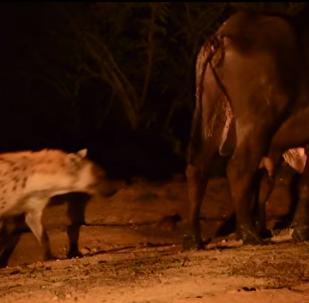 El peor día: un búfalo se defiende de una manada de leones... pero una hiena se cuela por detrás