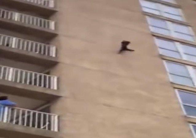 Un 'mapache ninja' escala un edificio residencial y cae