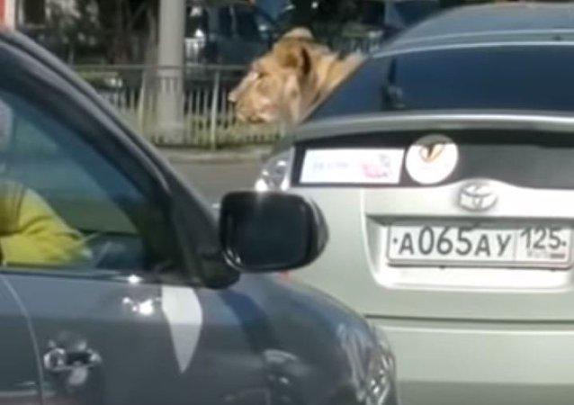Un león pasea en auto por Rusia