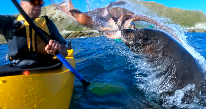 ¡Fuera de mis aguas! Una foca enfadada da un 'pulpazo' a un kayakista