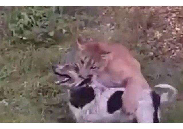 Un puma enfurecido ataca a un perro