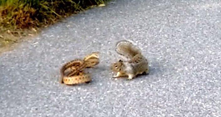 Ardilla ataca a una serpiente