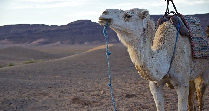 Un camello, imagen referencial