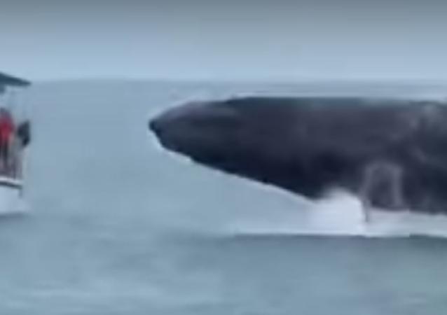 Una ballena gigante casi vuelca un barco turístico en Costa Rica