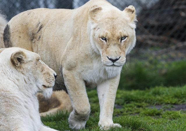 Una leona blanca (archivo)
