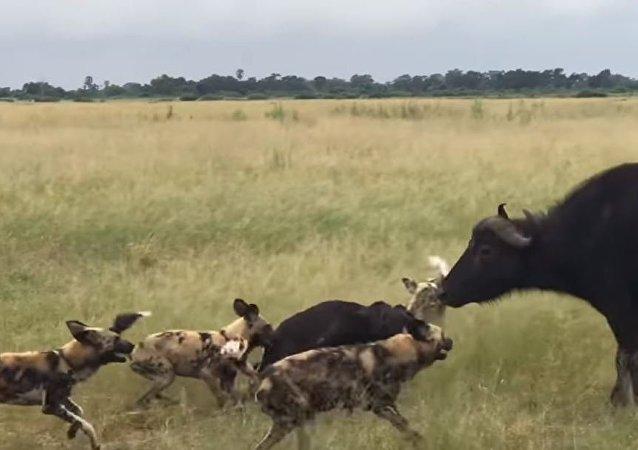 Una violenta batalla entre perros salvajes y búfalos
