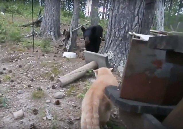 Un gato ataca a un oso