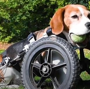 La increíble historia de superación del perrito que nació sin huesos en una pata