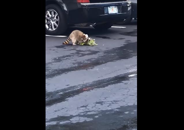 América salvaje: un mapache derrota a una iguana en un sangriento combate