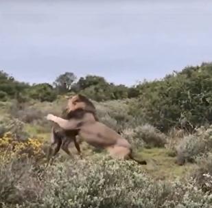 Un león termina con la vida de una jirafa recién nacida