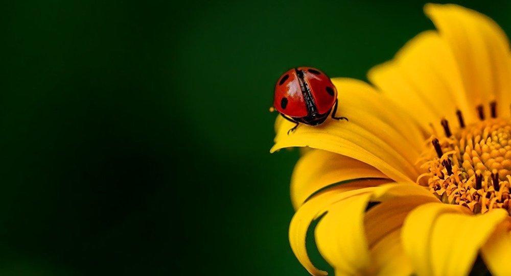 Una mariquita en una flor