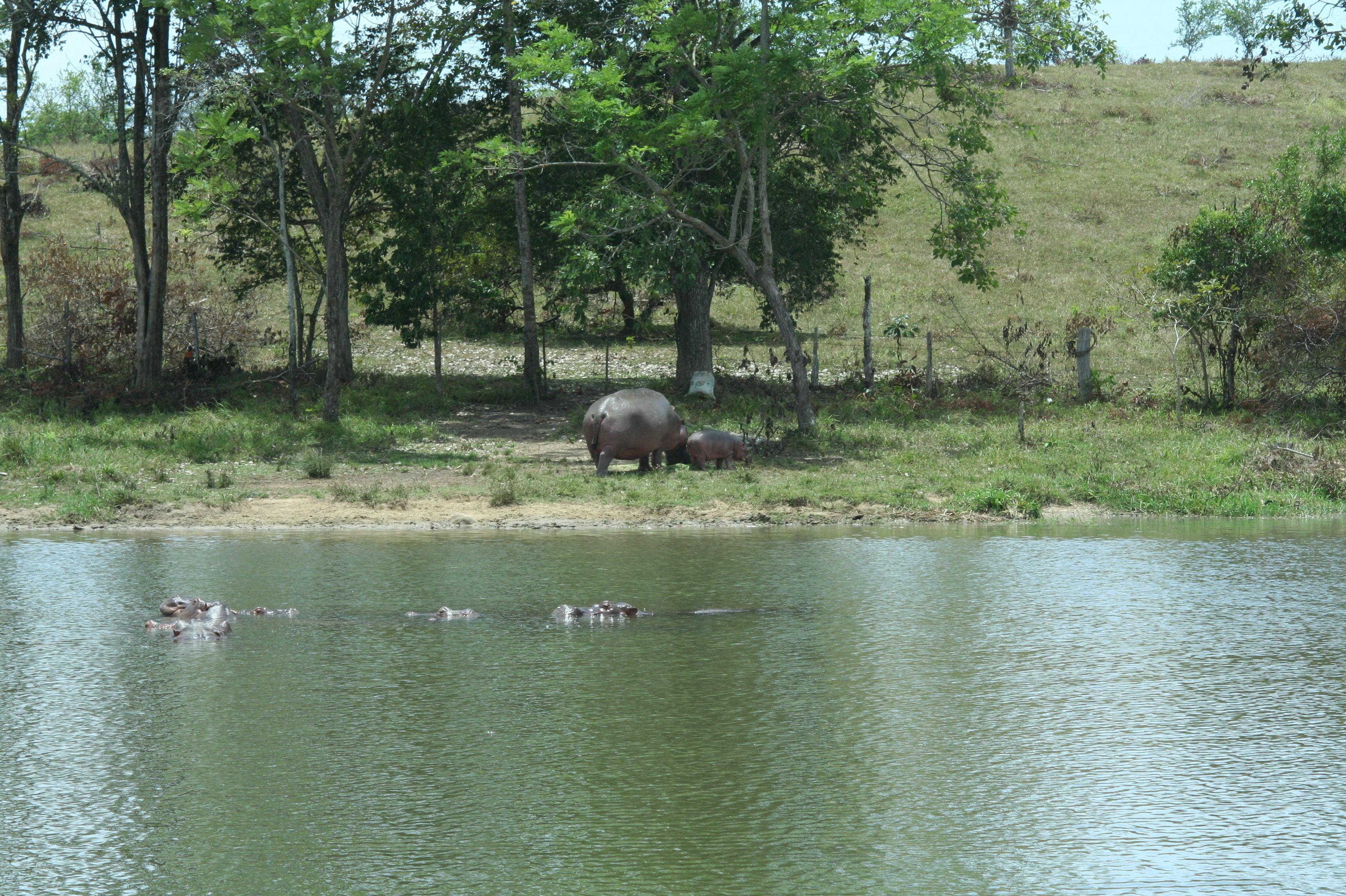 Hipopótamos de Pablo Escobar en el Doradal, Antioquia, Colombia