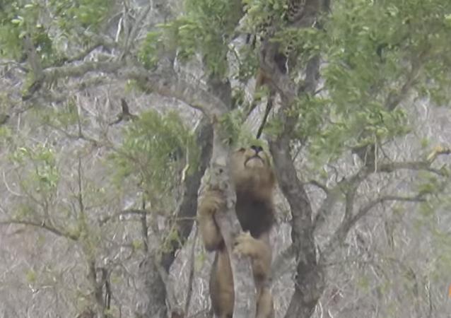 Un astuto león intenta robarle el almuerzo a un leopardo