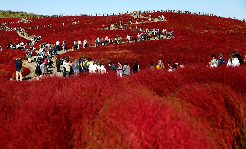 Campos de epilobio floreciente en el Parque Costero de Hitachi, Japón.
