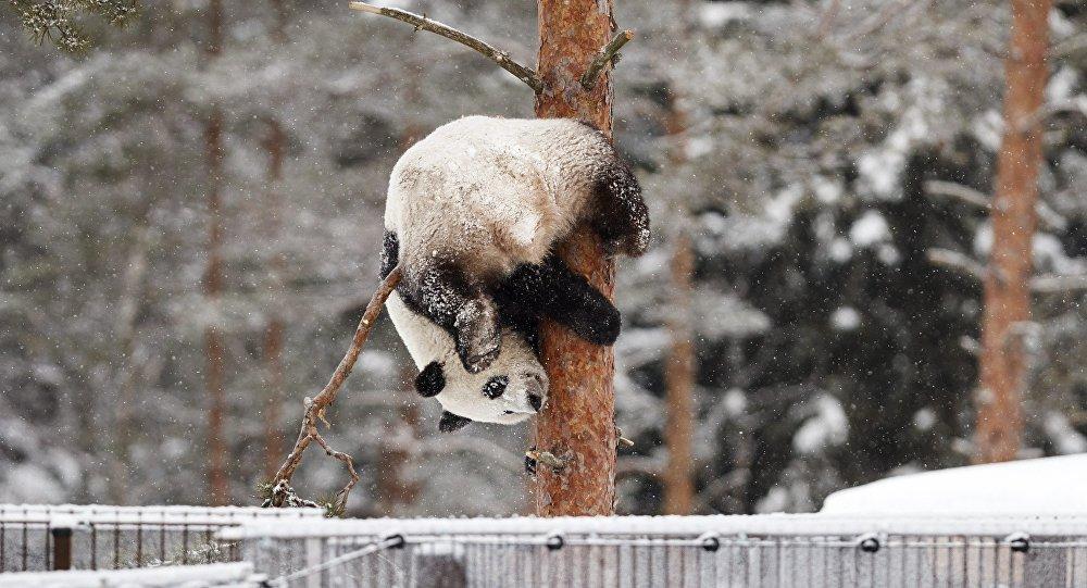 Un panda juega bajo la nieve (archivo)