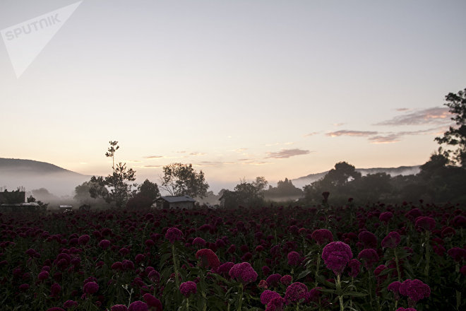Campos de flor de terciopelo utilizada en los altares del día de muertos
