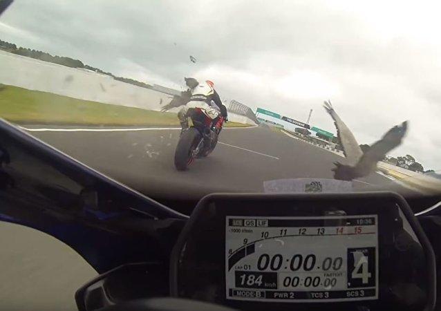 Un ganso se estrella contra dos pilotos de motos a 183 km/h