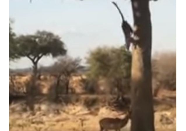 De un golpe: un leopardo toma por sorpresa a un antílope