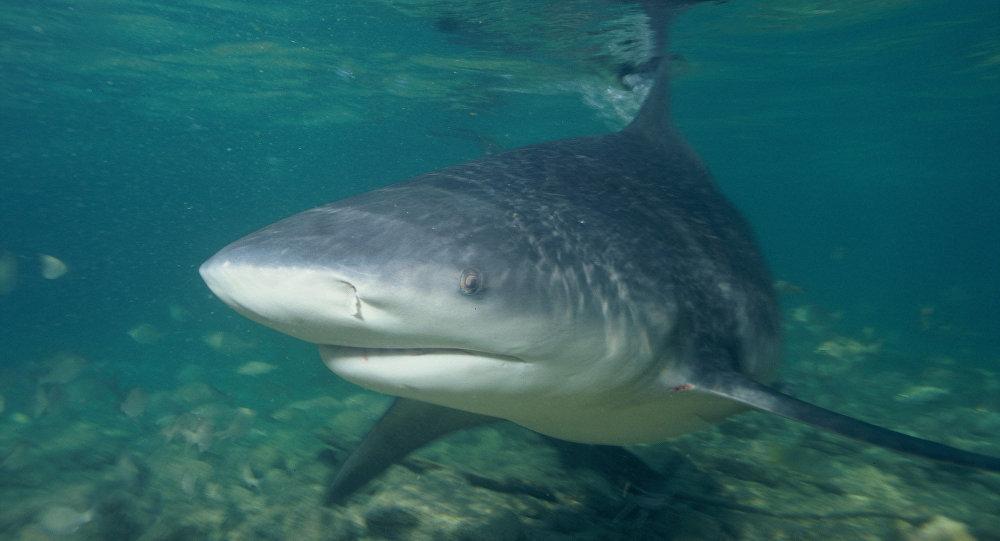 Tiburón toro, referencial