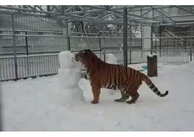 Un juego salvaje del tigre con muñecos de nieve