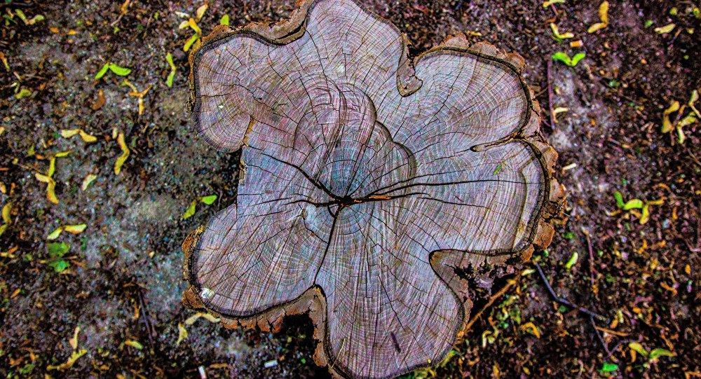 Los anillos de un árbol (imagen referencial)