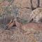 Fuertes imágenes: chitas e hienas se comen vivo a un impala