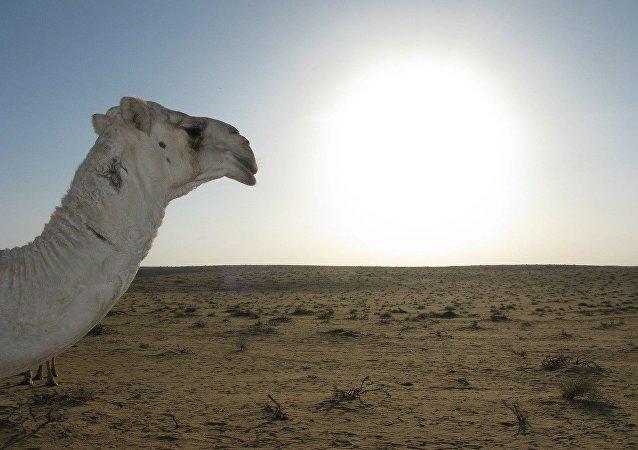 Un camello en el desierto, referencial