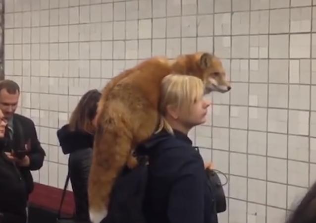 Lo normal: un zorro esperando el metro en Moscú