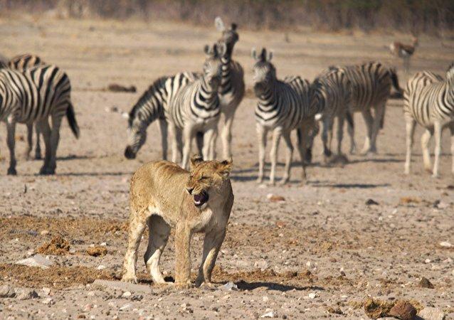 Una leona entre las cebras