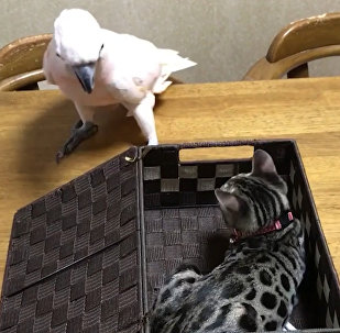 El inesperado hallazgo de una cacatúa curiosa
